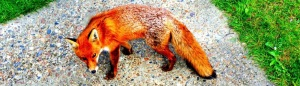 (sub)urban fox
