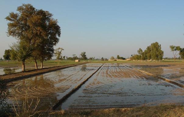 An irrigated field, Punjab